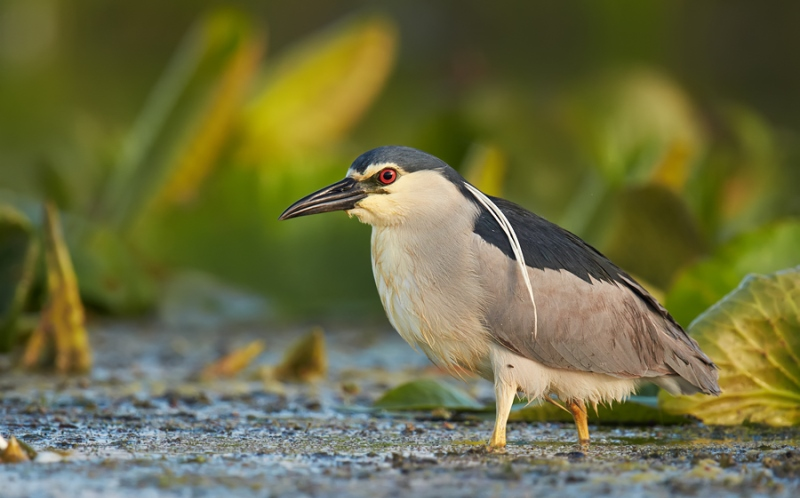 night-heron1.jpg